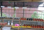 Agrobis Tanaman Hias